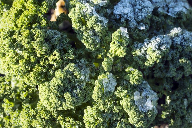Couve ou couve galega verde com geada no jardim vegetal imagens de stock royalty free