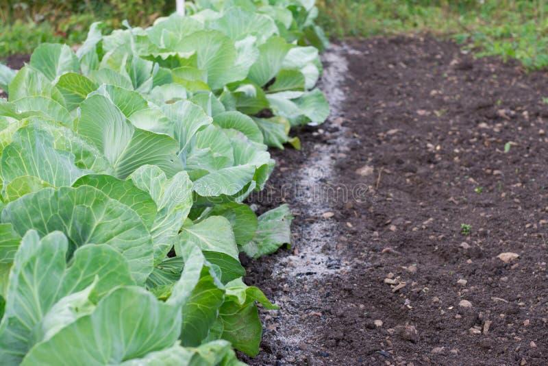 Couve que cresce nas camas do jardim fertilizadas com cinza foto de stock