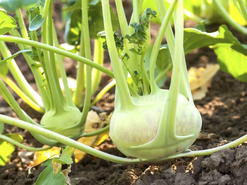 Couve-rábano no jardim vegetal fotos de stock