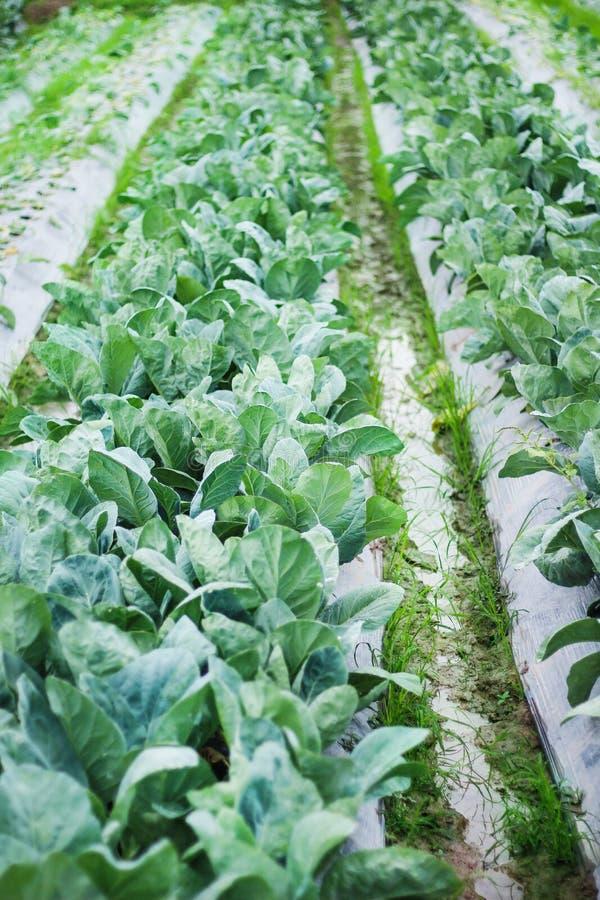 Couve verde fresca na exploração agrícola orgarnic, fundo da natureza imagens de stock royalty free