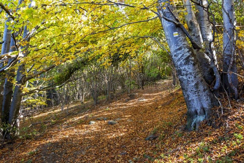 Couvert de chemin forestier tombé de hêtre de feuilles d'automne, un sentier de randonnée en montagne de Vitosha, Bulgarie photos stock