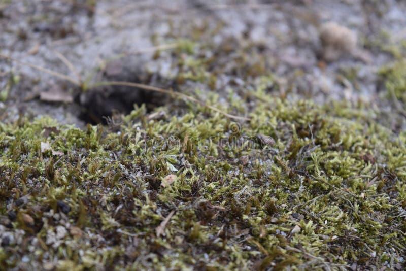 Couverture végétale moussue photographie stock