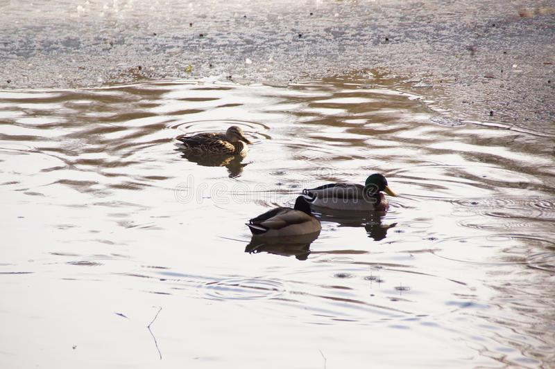Covered in frost lake, ducks, winter - France stock photos