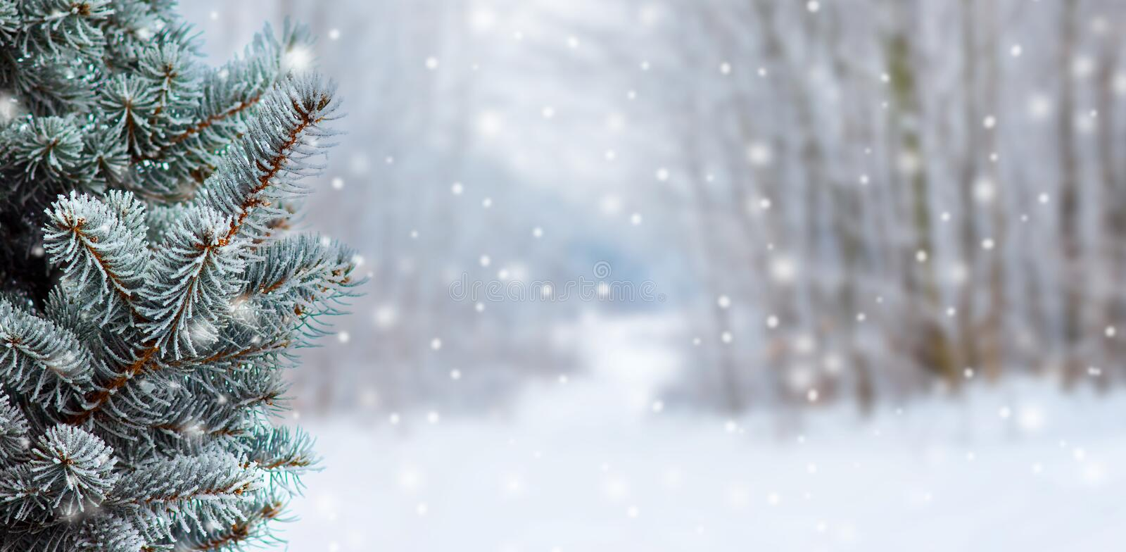 Covered with snow branch spruce  on blurred  background during snowfall, copy space. Winter background_. Covered with snow branch spruce  on blurred  background stock image