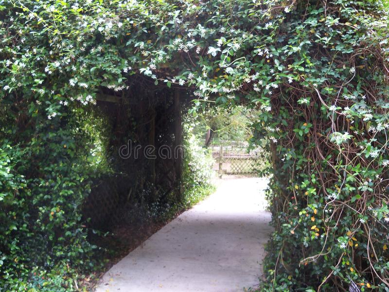 A tunnel of white Confederate Jasmine flowers. A covered walkway covered in the small fragrant flowers of Confederate Jasmine stock images