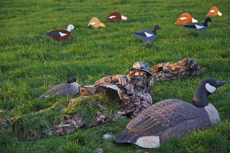 Covering up. Hunter covers up among decoys of Canada Goose and Paradise ducks, West Coast, South Island, New Zealand stock photo