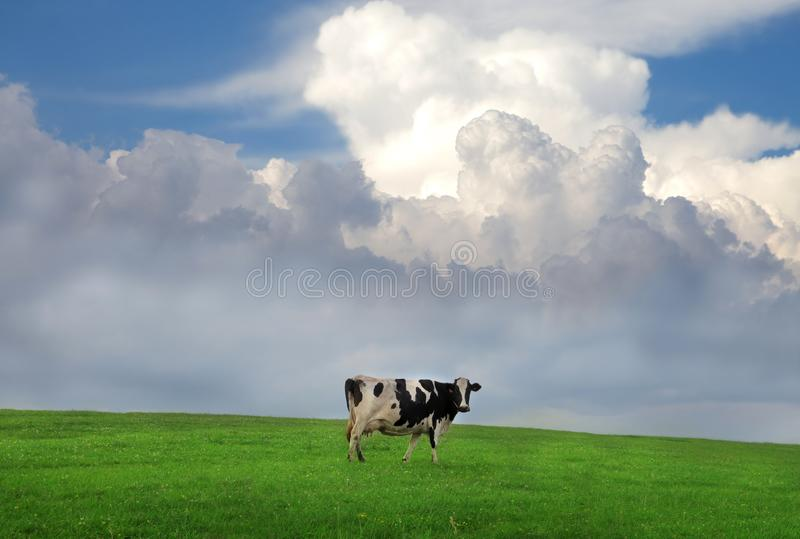 Cow. In a grass field royalty free stock image