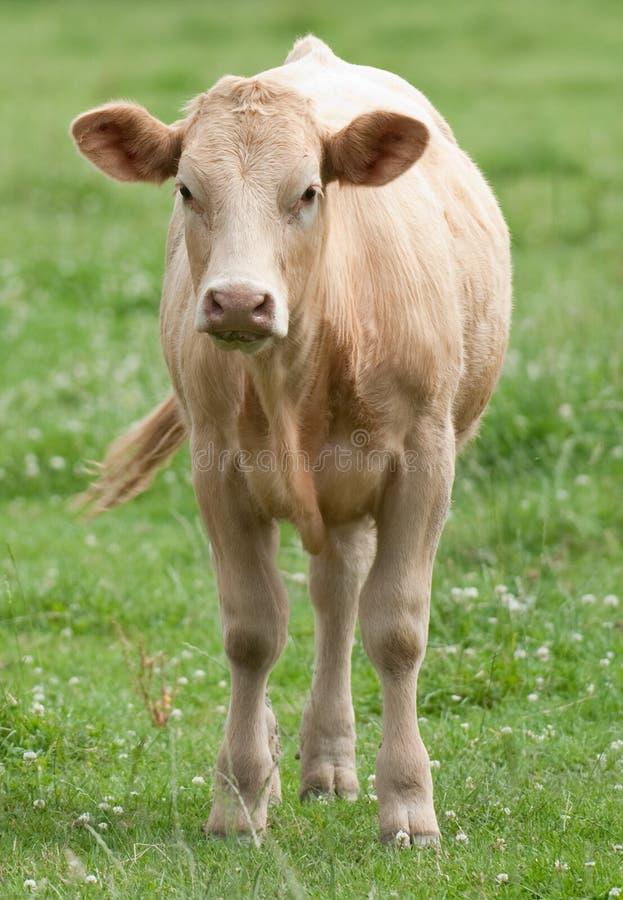 Cow. Shorthorn Cow in lush green field facing forward stock photos