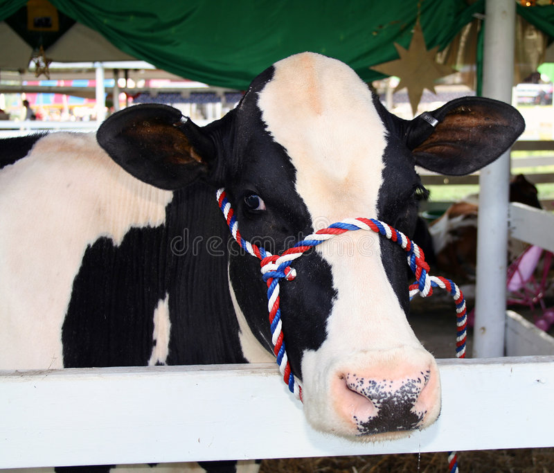 Download Cow stock image. Image of farm, staring, bovine, display - 1145193