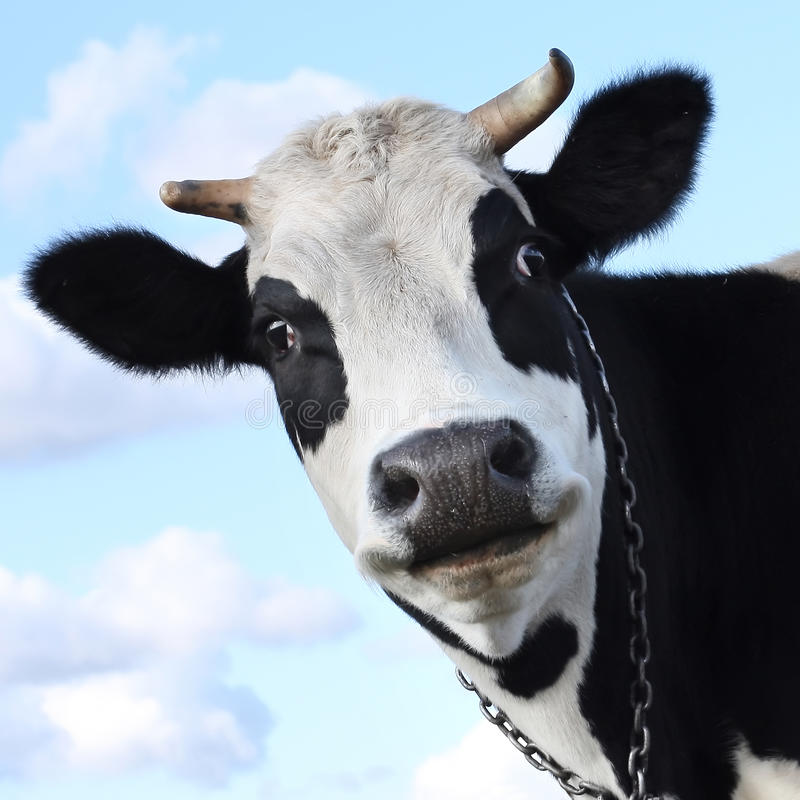 Download Cow Royalty Free Stock Photos - Image: 12394788