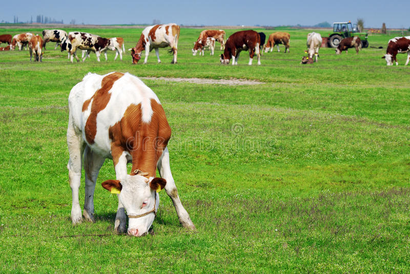 Cow. Pasture grass in the pasture stock photography