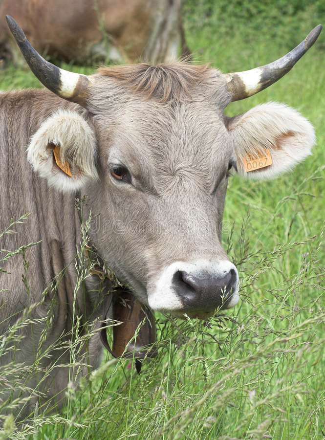 Download Cow stock image. Image of spring, farmer, animal, country - 1433397