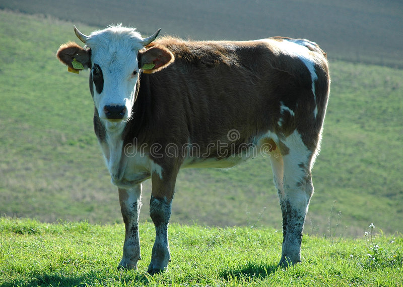 Cow. Docile cow on green meadow royalty free stock image