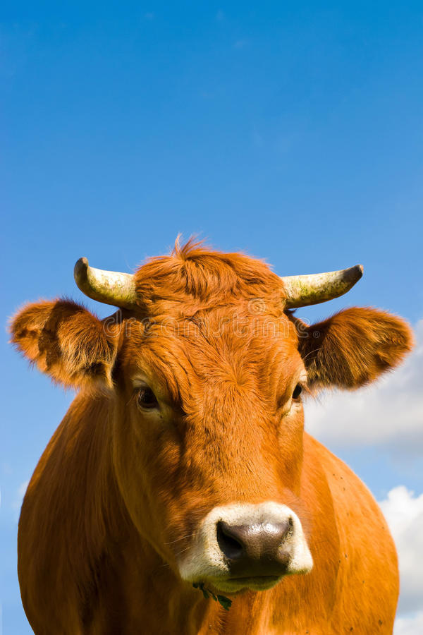 Download Cow stock image. Image of countryside, bloom, leaf, dairy - 16602913