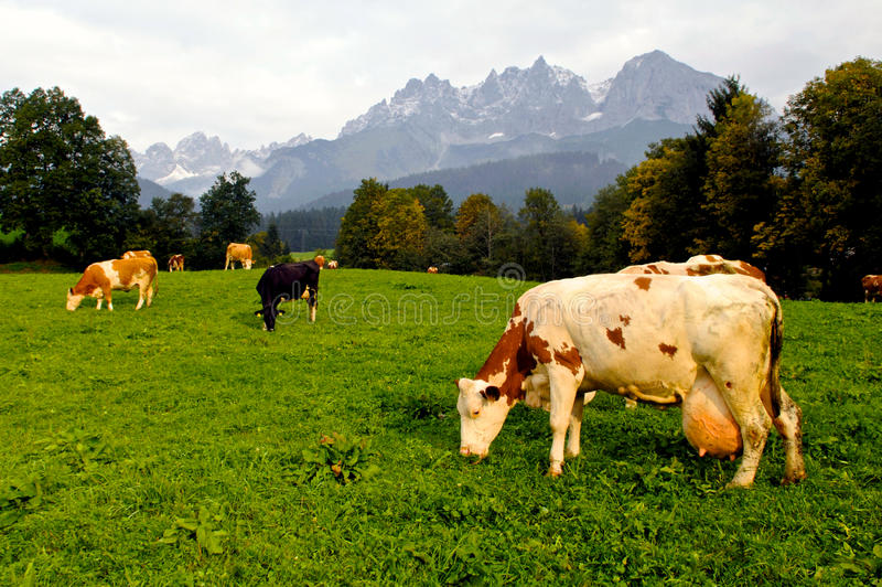Download Cow stock photo. Image of farm, livestock, farming, colorful - 18168542