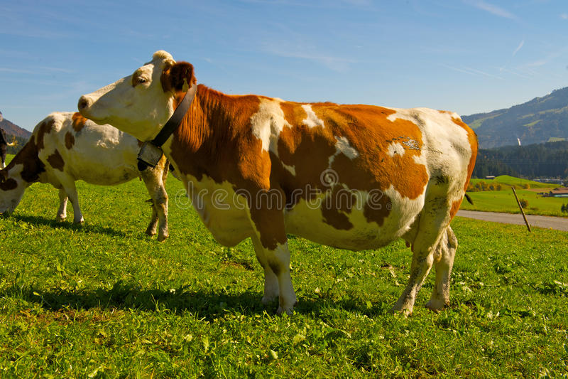 Download Cow stock image. Image of milk, livestock, calf, animal - 18179735