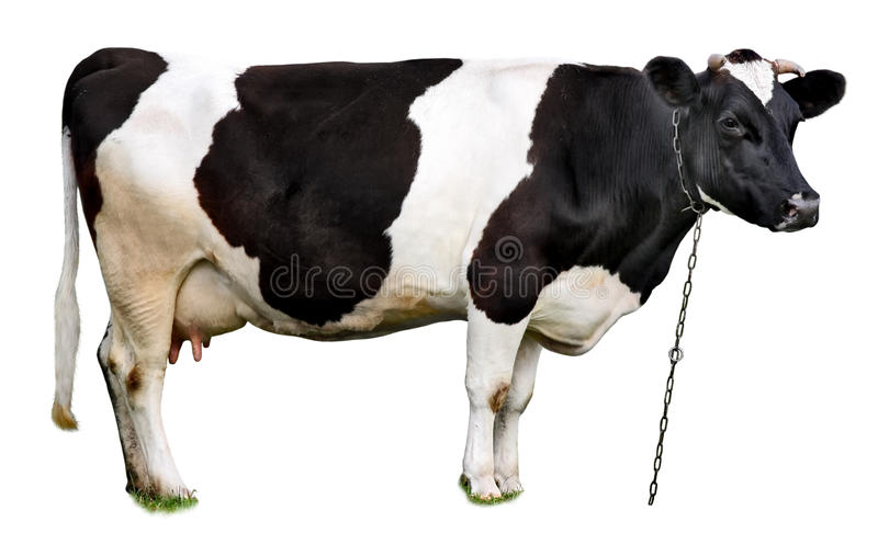 Cow royalty free stock photo