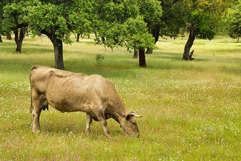 Download Cow stock photo. Image of cattle, extremadura, grass - 18817398