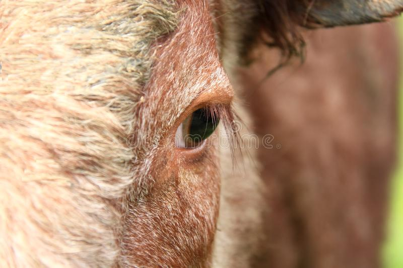 Download Cow stock photo. Image of cattle, healthy, farmer, brute - 19326636