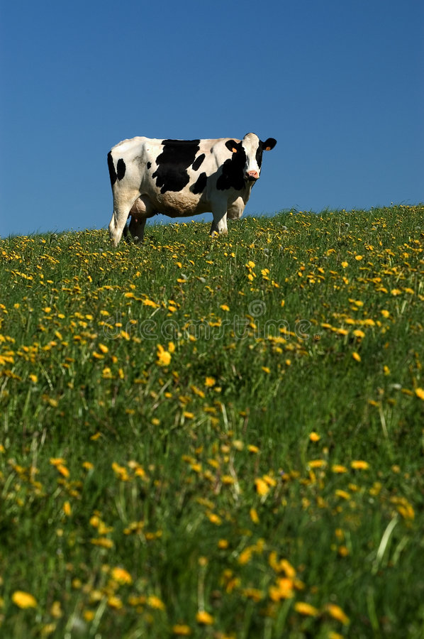 Cow royalty free stock images