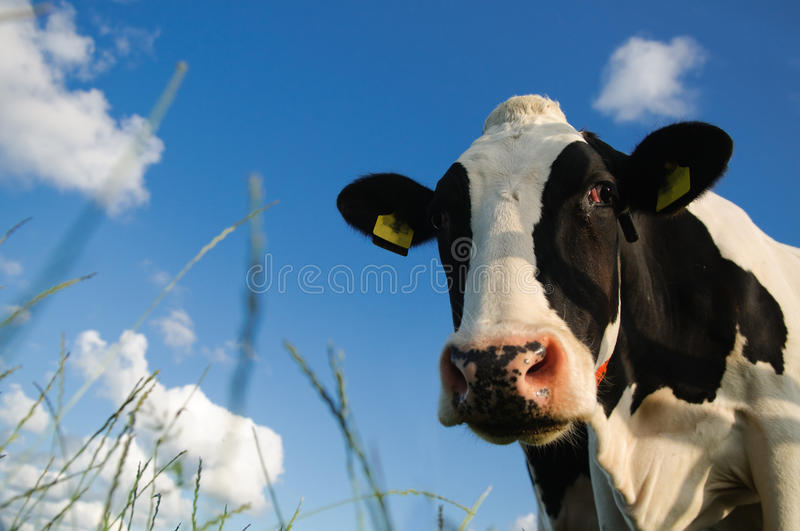 Cow. Close up portrait of a young cow against a blue sky with some white clouds. Picture taken with low point of view, with grasses in the foreground. Copy space