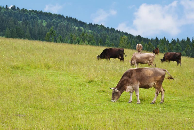 Download Cow stock image. Image of horizon, dairy, angle, hills - 20617385