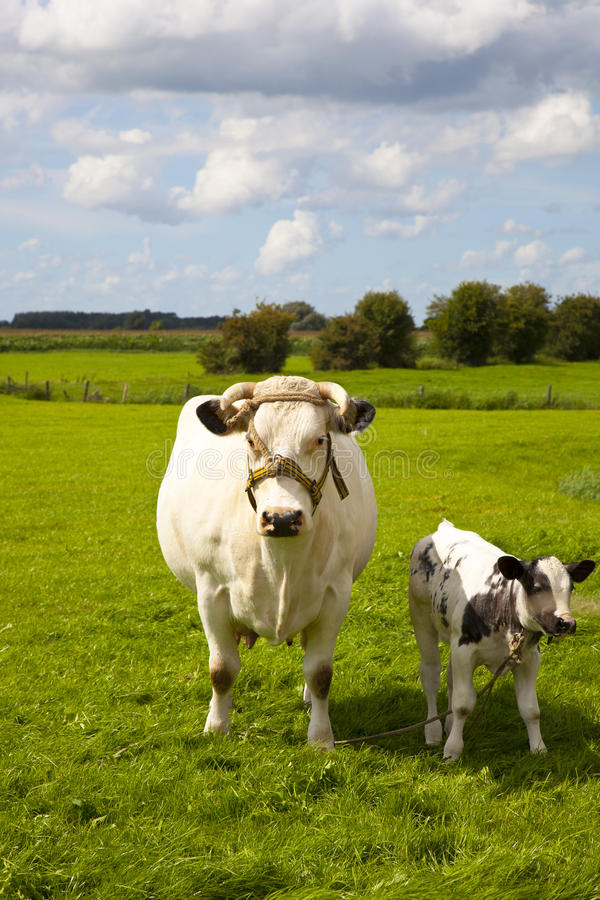 Download Cow stock image. Image of farm, field, ijsel, dairy, farming - 21086875