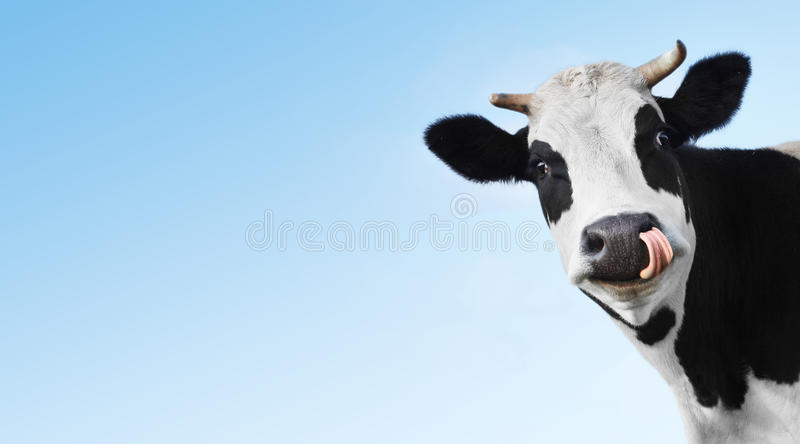Cow. Crazy smiling cow with tongue looking to a camera on blue clear background with copyspace