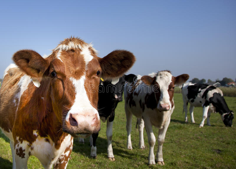 Download Cow stock image. Image of holstein, friesian, blue, farmed - 21482307
