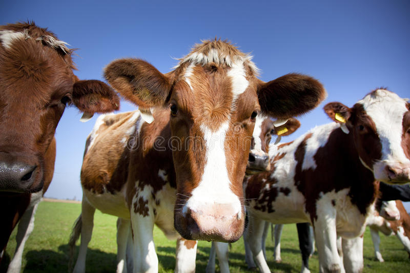 Download Cow Stock Photo - Image: 21482480