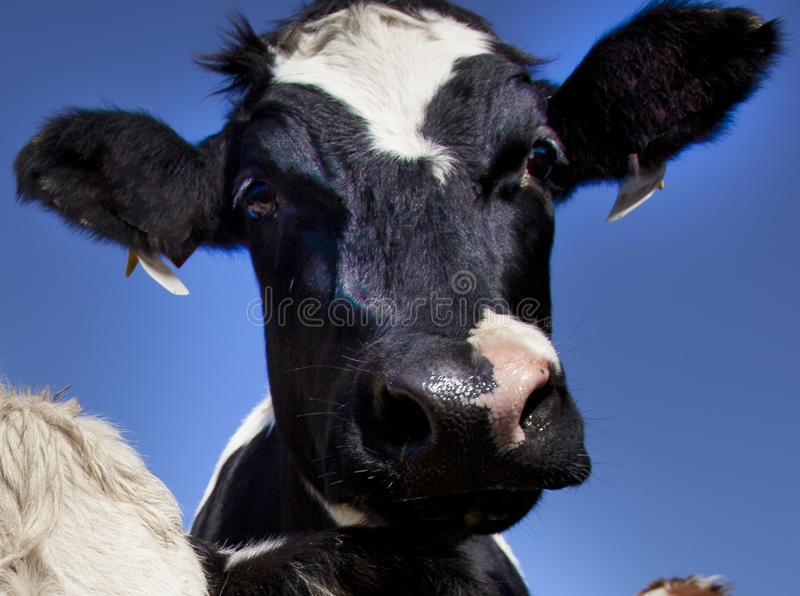 Download Cow stock image. Image of diary, farmland, friesian, cattle - 21482565