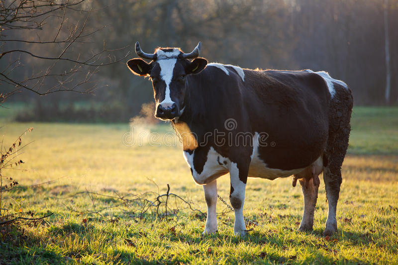 Download Cow stock photo. Image of field, farming, animal, nature - 22009752