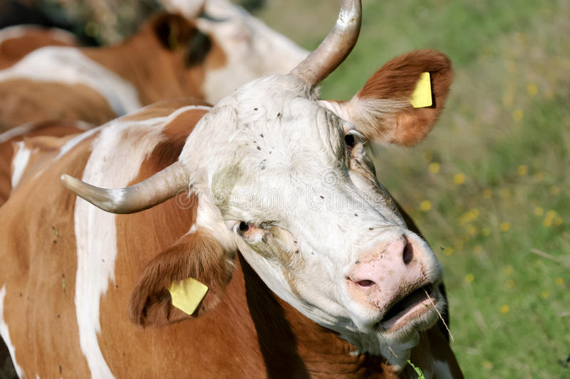 Download Cow stock photo. Image of countryside, husk, field, antler - 22246080