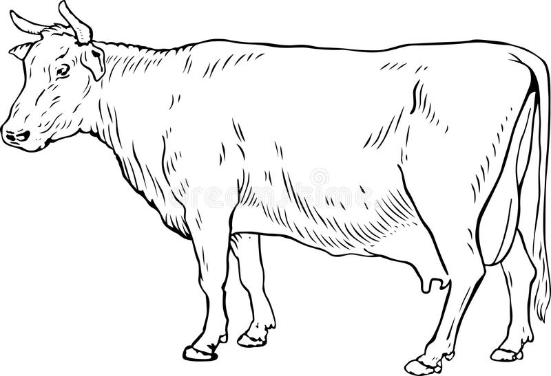 Cow. This image is a vector illustration and can be scaled to any size without loss of resolution, can be variated and used for different compositions. This royalty free illustration