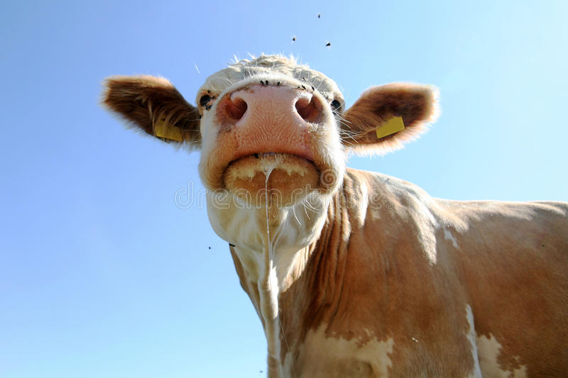 Download Cow Royalty Free Stock Photos - Image: 24232988