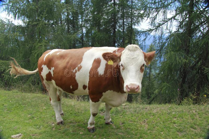 Download Cow stock photo. Image of calf, bull, feed, field, ranch - 26004998
