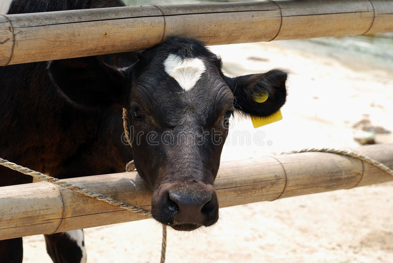 Cow. In the farm.waiting for foods royalty free stock photo