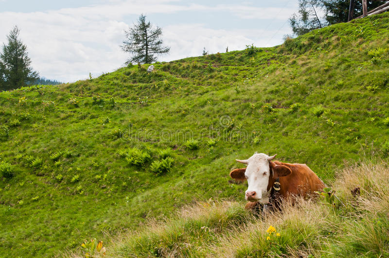 Download Cow stock photo. Image of milker, pasture, mountain, landscape - 26346896