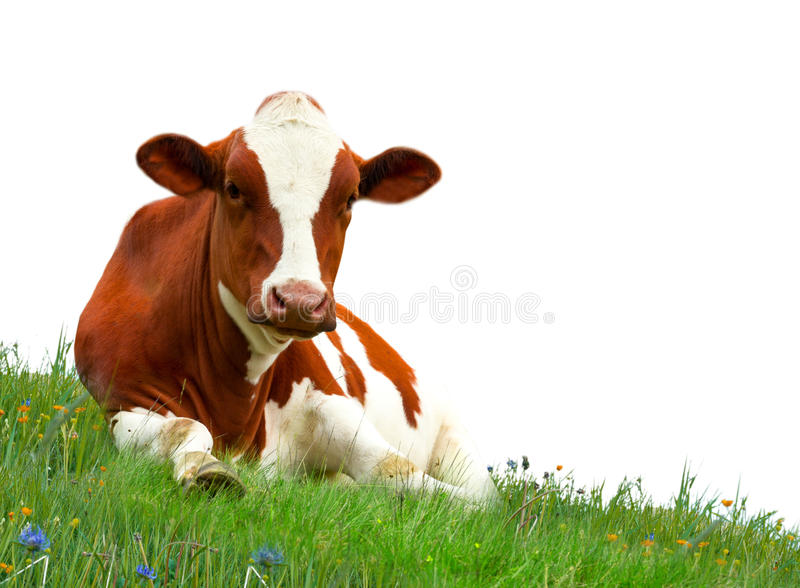 Download Cow stock photo. Image of agriculture, natural, farm - 26655160