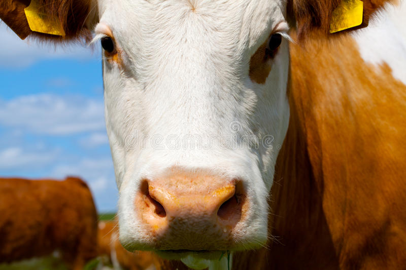 Cow. On a summer pasture stock photo