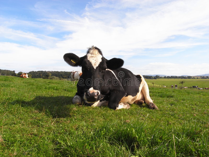 Download COW stock image. Image of nose, farm, mammal, pets, milk - 3143387