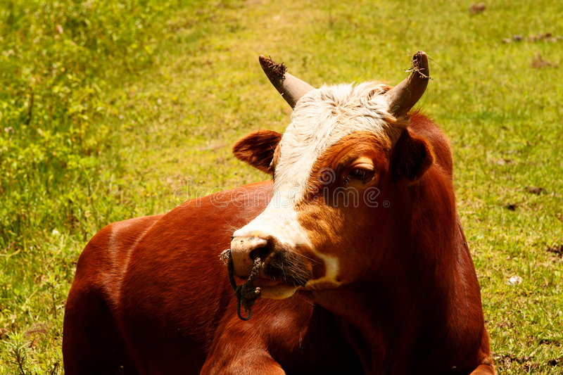 Download Cow stock image. Image of landscape, mammals, china, asia - 3312239
