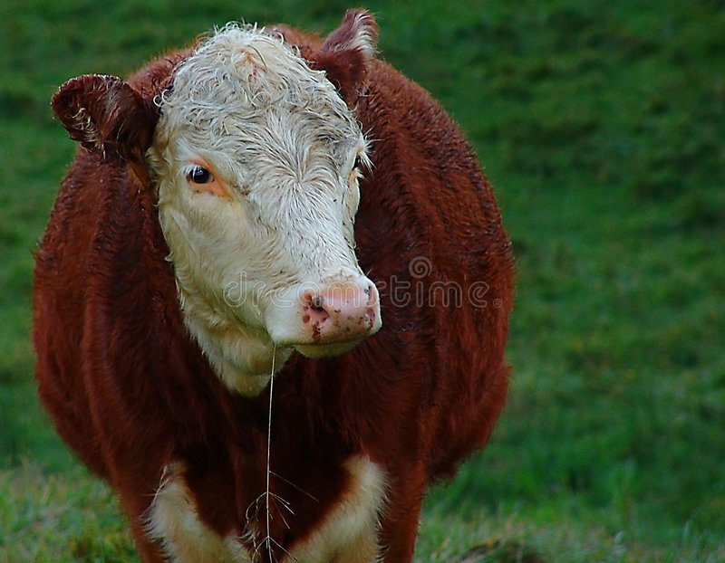 Download Cow stock image. Image of girl, rural, farm, female, cattle - 36049