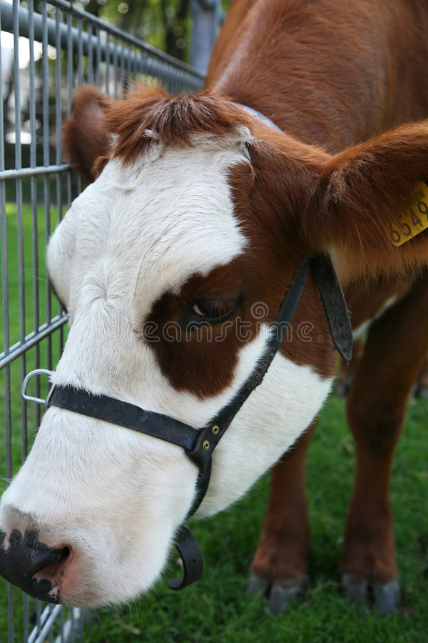 Cow. White and brown cow - close up stock photography
