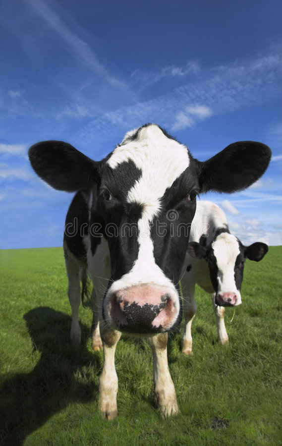 Free Cow Stock Images - 5356334