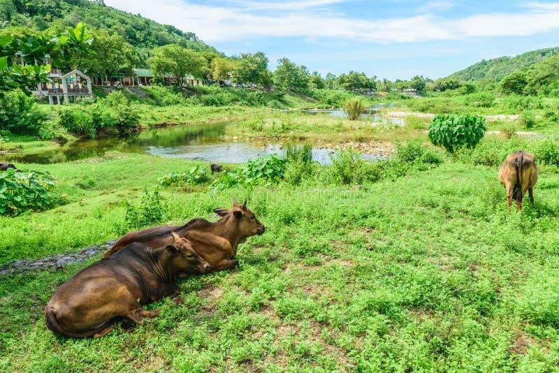 Cow3 fotografía de archivo