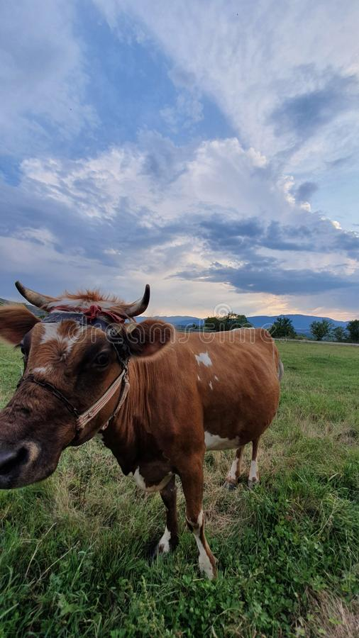 Cow  in albania stock image