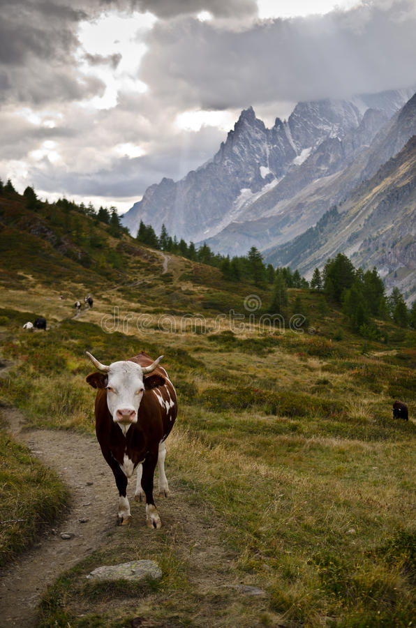 Download Cow along the Italian Alps stock image. Image of blanc - 26786467
