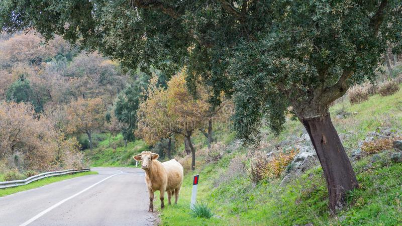 Cow along the road royalty free stock photos