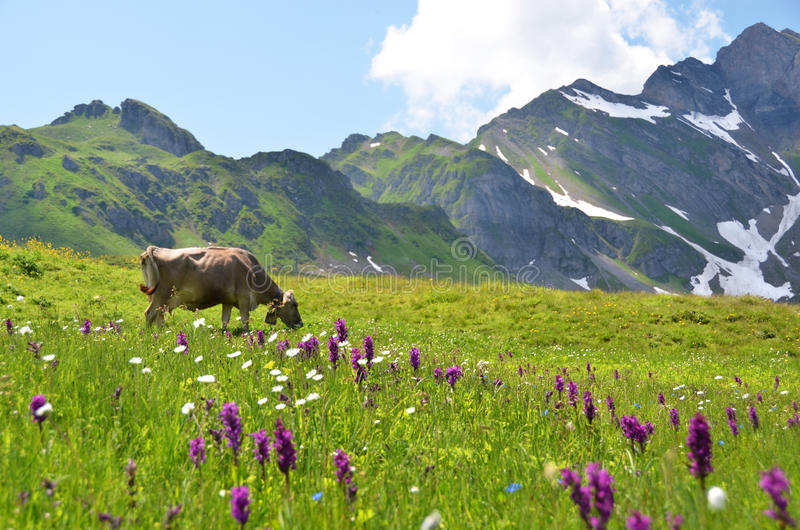 Cow in an Alpine meadow. Melchsee-Frutt, Switzerland royalty free stock photos